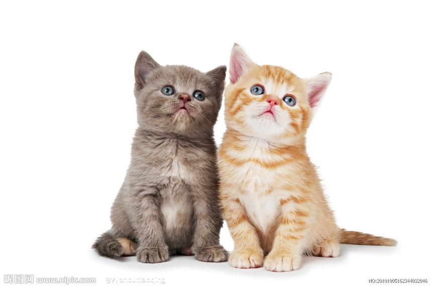 暹罗猫源自泰国,是泰国只有贵族和皇家寺院才能饲养的小宠物,虽然近些年来暹罗猫也被带到国外,被更多的人饲养,仍然改变不了它的贵族气质。关于暹罗猫怎么美容,今天就来和大家聊聊。  暹罗猫本身长的很就很漂亮,也很可爱,身上散发出贵族的气息,它性格温顺,和小朋友能很好的相处,如果家里养有其它宠物,也能和睦相处,所以说养只暹罗猫也是一种身份和地位的象征。暹罗猫怎么美容才能让它更加可爱呢?