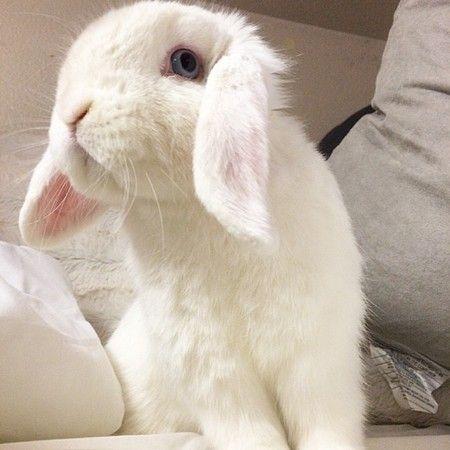 湛蓝大眼睛的白兔mason是目前
